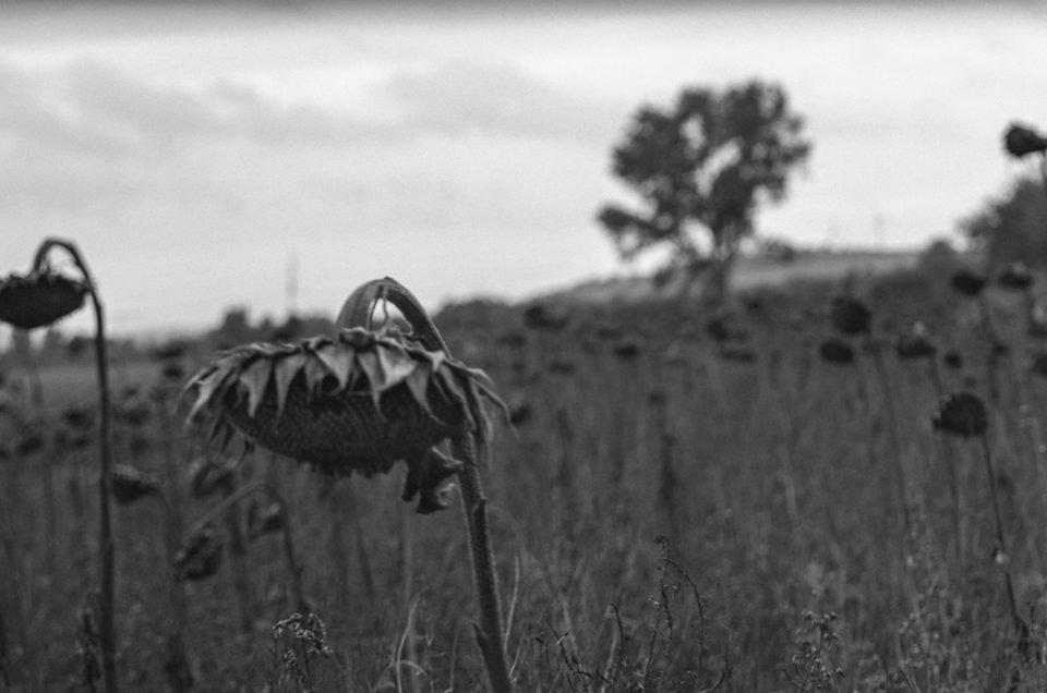 6x17 Panorama Sonnenblumen verwelkt Kleinmoelsen Grossformatkamera analog