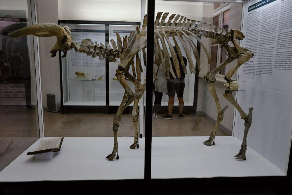Skelett des Urstiers im Phyletischem Museum bearbeitet mit Capture One