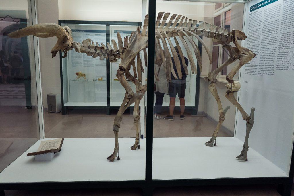 Skelett des Urstiers im Phyletischen Museum bearbeitet mit Lightroom