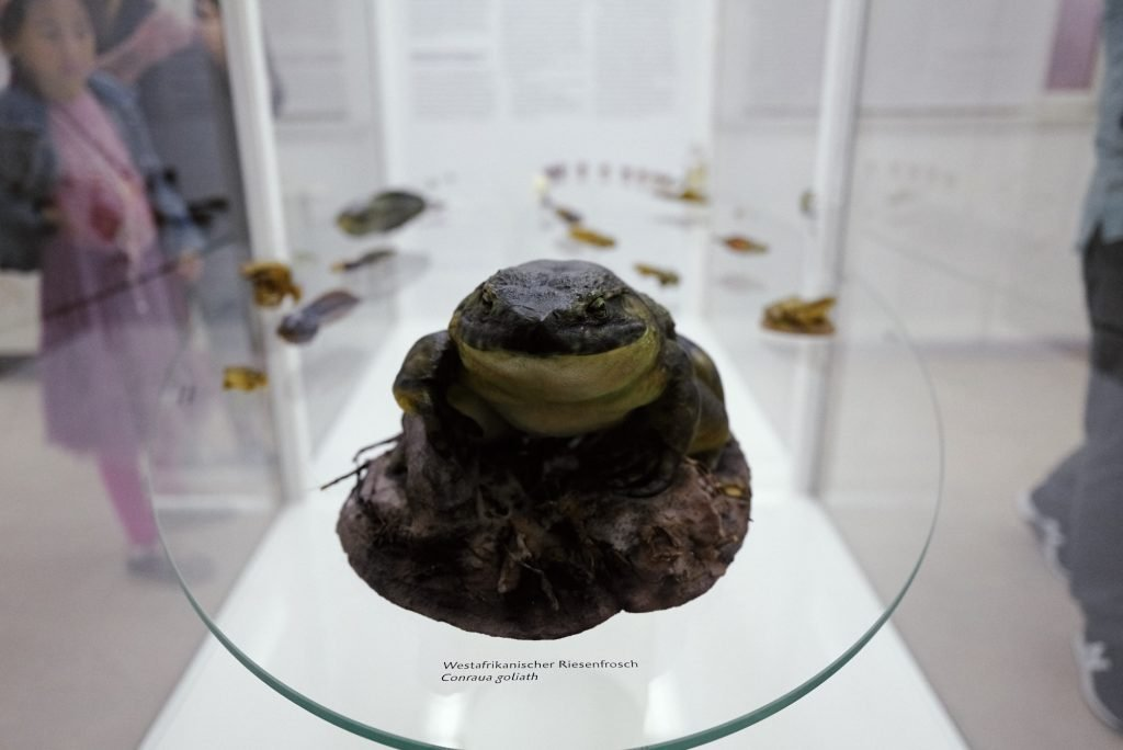 Westafrikanischer Riesenfrosch im Phyletischen Museum bearbeitet mit Capture One