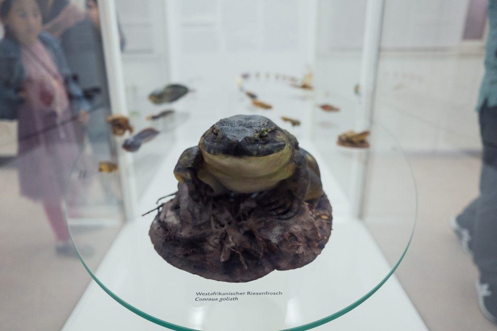Westafrikanischer Riesenfrosch im Phyletischen Museum bearbeitet mit Lightroom
