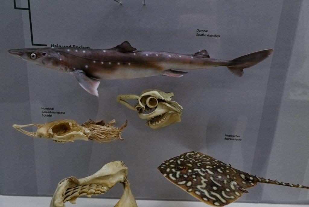 Exponate von Fischen im Phyletischen Museum bearbeitet mit Capture One