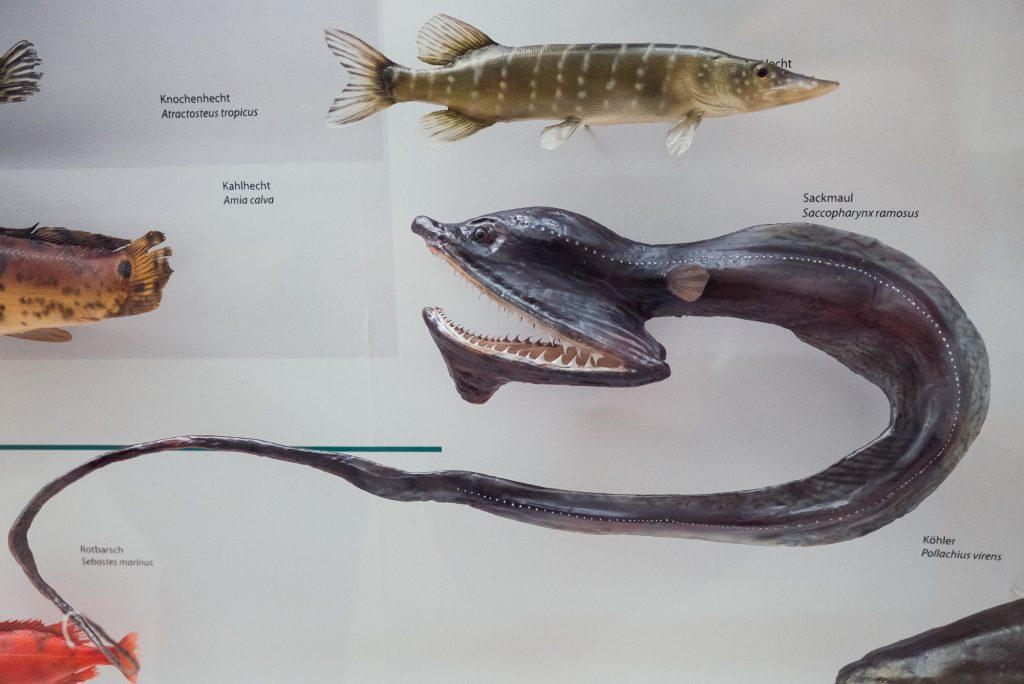 Exponate von Fischen im Phyletischen Museum bearbeitet mit Lightroom