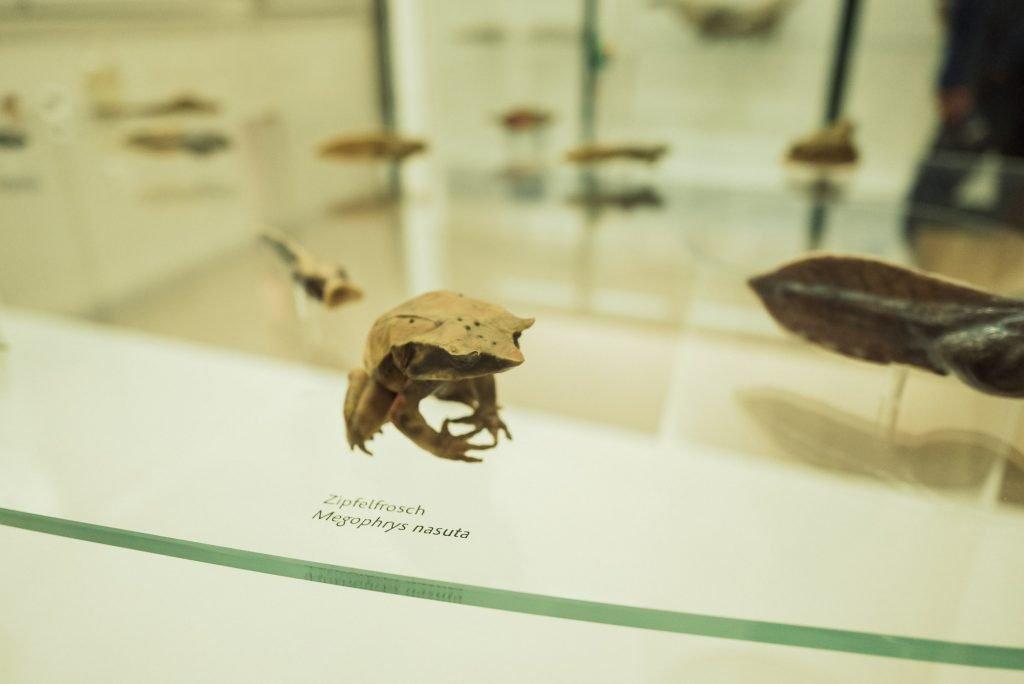 Zipfelfrosch im Phyletisches Museum