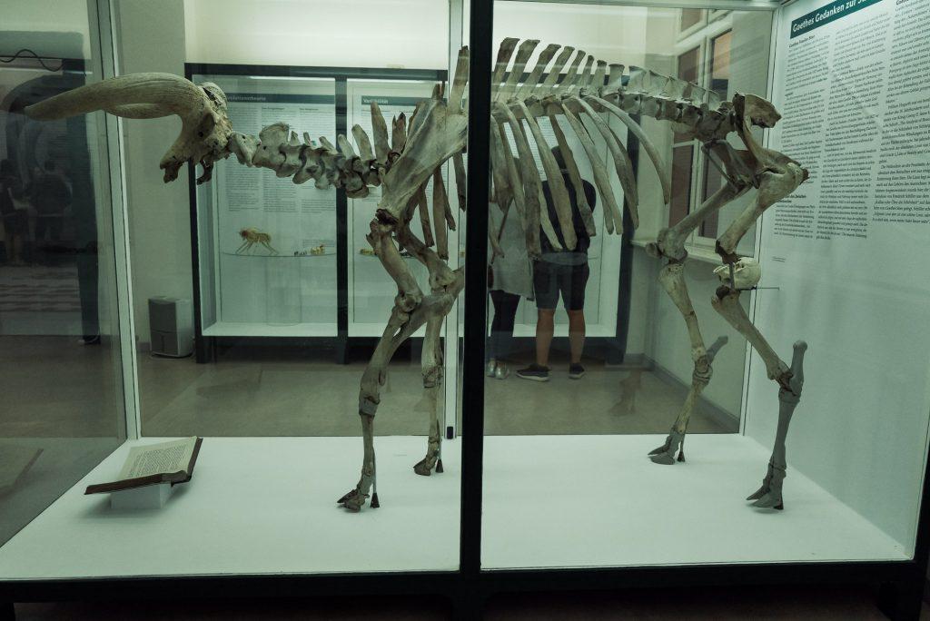 Urstier im Phyletisches Museum