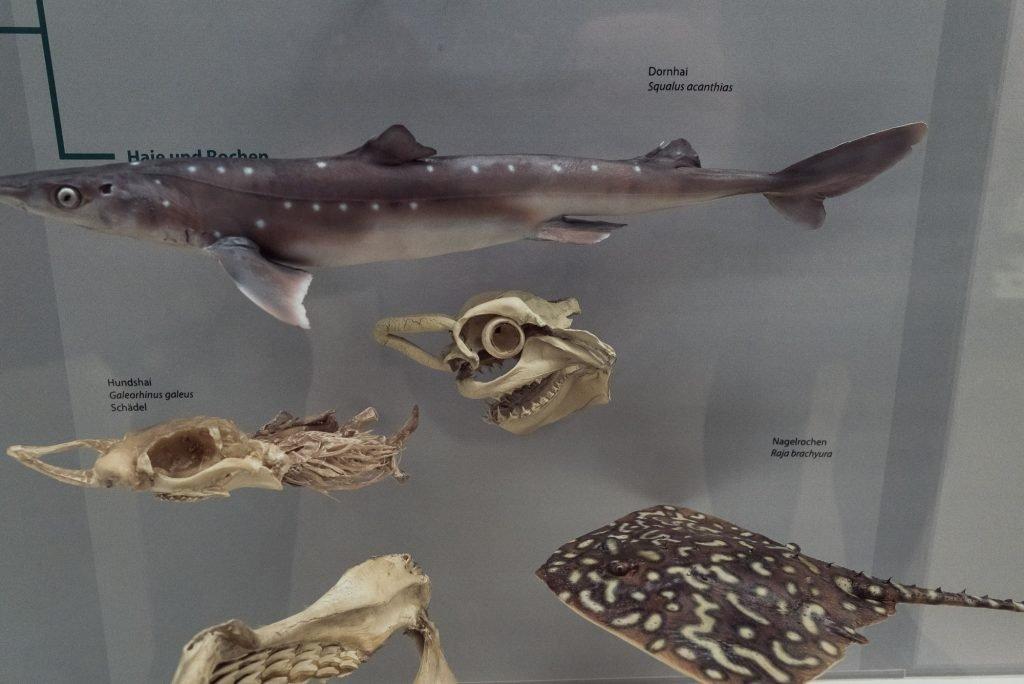 Fische und Fischkoepfe im Phyletisches Museum