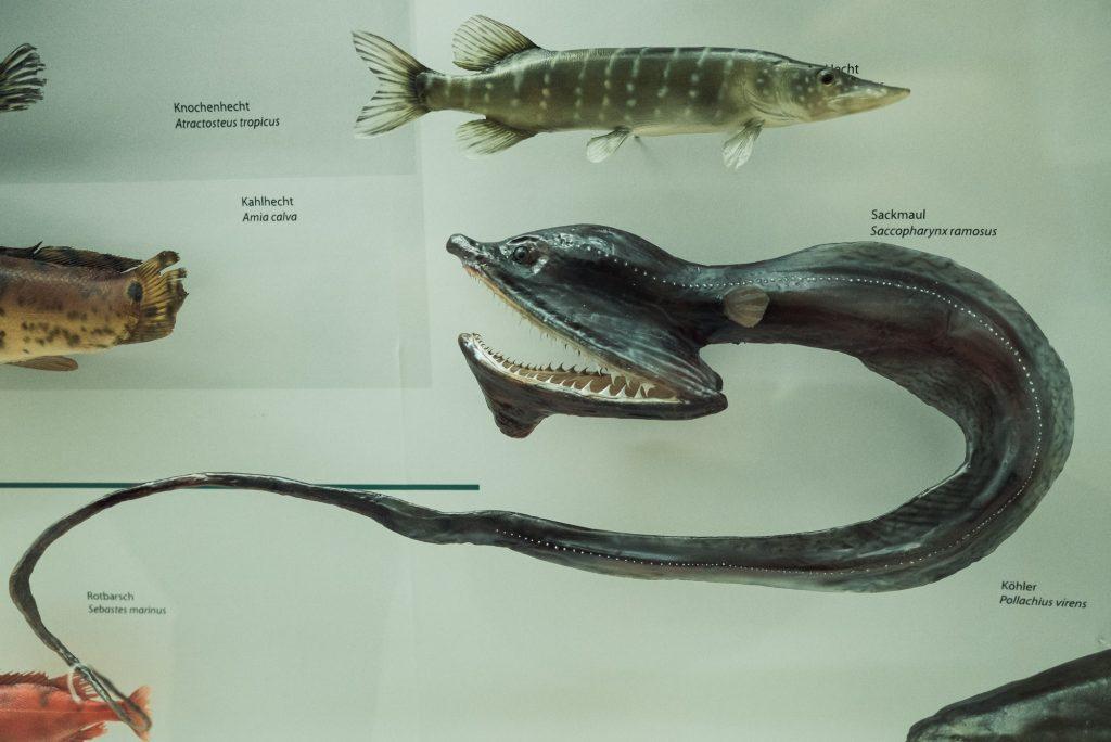 Sackmaul im Phyletisches Museum