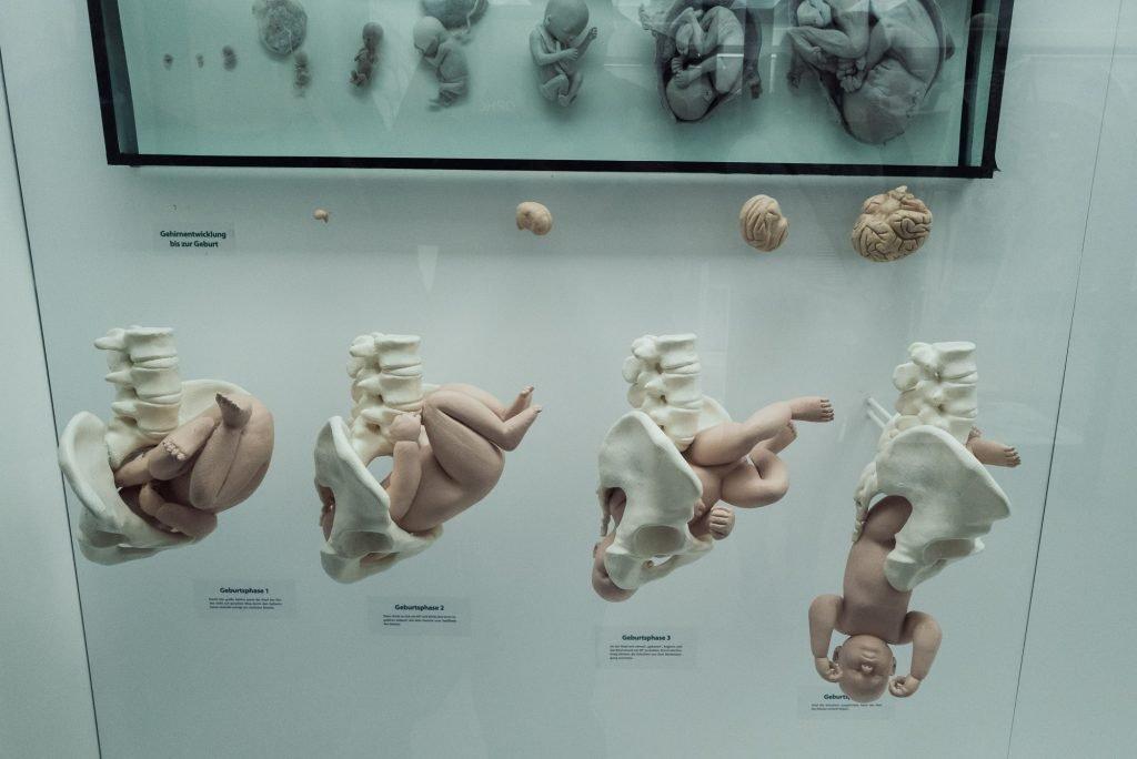 Entwicklung eines menschlichen Babys im Mutterleib im Phyletisches Museum