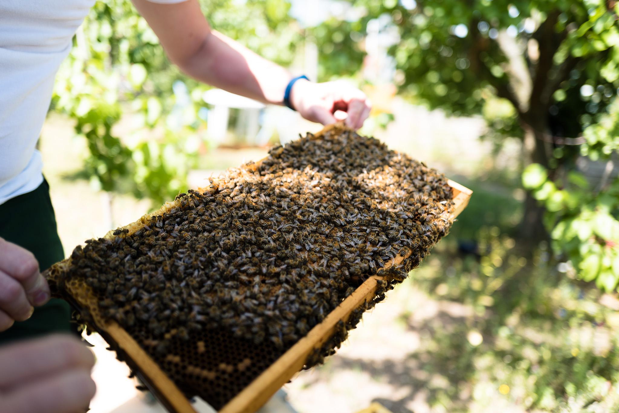 Imker - Ueberpruefung der Bienenstoecke - ein Rahmen voll mit Bienen